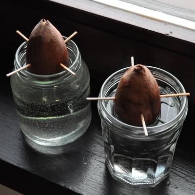 Avokadove sjemenke, 100 bofora